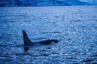 Orques à Trosmø, Norvège Orque_Tromso_Norvege-VoyagesEtCompagnie1 | Voyages-et-compagnie.com - Blog voyage